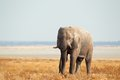 African elephant on open plains Royalty Free Stock Photo