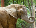 African elephant photo of an with it s trunk curled up Stock Photos