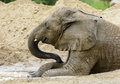 African elephant photo of a young male enjoying a mud bath Royalty Free Stock Images
