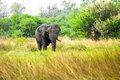 African elephant in savanna of botswana Royalty Free Stock Photo