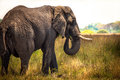 African elephant in savanna of botswana Stock Photos