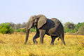 African elephant in savanna of botswana Stock Photo