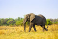 African elephant in savanna of botswana Royalty Free Stock Image