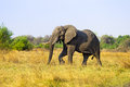 African elephant in savanna of botswana Stock Images