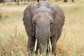 African elephant in the serengeti np Stock Photography