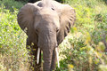 African elephant in the serengeti np Stock Images