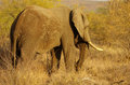 African elephant strolling thru the bush Royalty Free Stock Images