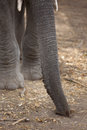 African elephant trunk and tusks close up of feet Stock Photo