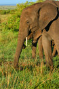 African Elephant in the wild Stock Photography