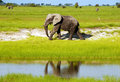 African elephant in wild savanna (Botswana) Royalty Free Stock Photo