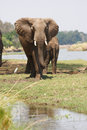 African elephant young bull near the zambezi river Royalty Free Stock Images