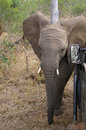 African elephant young close to the safari car Stock Photo