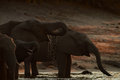African Elephants Royalty Free Stock Images