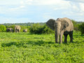 African elephants in bush savannah botswana africa walking taken chobe national park Stock Photo