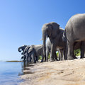 African elephants chobe river botswana a group of loxodonta africana drinking on the shore of the rive in Stock Photography
