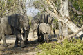 African Elephants family group on the Plains Royalty Free Stock Photo