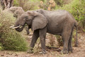 African elephants feeding on acacia tree that they had felled Royalty Free Stock Image