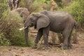 African elephants feeding on acacia tree that they had felled Royalty Free Stock Photos
