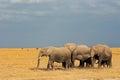 African elephants in grassland loxodonta africana walking amboseli national park kenya Royalty Free Stock Image