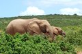 African elephants grazing two big in the green wild bushes at addo elephant park south africa Stock Image