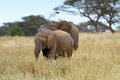 African elephants in the serengeti np Royalty Free Stock Photos