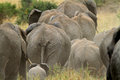 African elephants in the serengeti np Royalty Free Stock Photo