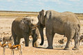 African Elephants standoff at the waterhole Stock Photos