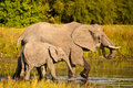 African Elephants wading Stock Images