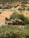 African elephants at waterhole in South Africa Royalty Free Stock Photo