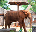 African elephants at zoo the in thailand Stock Image