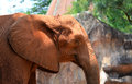 African elephants at the zoo in thailand Stock Photography