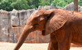 African elephants at the zoo in thailand Stock Images