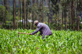 African farmer weeding an a maize field in kenya Royalty Free Stock Photography