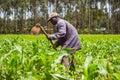 African farmer weeding an a maize field in kenya Stock Photos