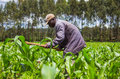 African farmer weeding an a maize field in kenya Royalty Free Stock Photos