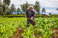 African farmer weeding an a maize field in kenya Stock Image