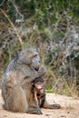 African Female Baboon and her baby Royalty Free Stock Image