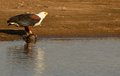 African fish eagle haliaeetus vocifer with big barbel kill in sabie river in kruger national park south africa Stock Photo