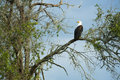 African fish eagle sitting in a tree Stock Images