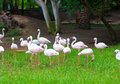 African flamingos on the grass Stock Images