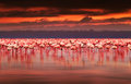 African flamingos on sunset Royalty Free Stock Photo