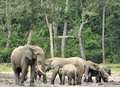 African forest elephant loxodonta africana cyclotis of congo basin at the dzanga saline a forest clearing central a dwelling Stock Image