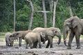 African forest elephant loxodonta africana cyclotis the dwelling of congo basin at the dzanga saline a Royalty Free Stock Photo