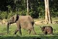 The african forest elephant loxodonta africana cyclotis forest dwelling elephant of congo basin at the dzanga saline a Stock Image
