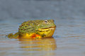 African giant bullfrog Royalty Free Stock Photo