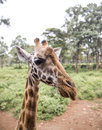 The african giraffe in nairobi national park in nairobi kenya Royalty Free Stock Photography