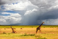 African giraffes on the background of a stormy sky. Africa. Tanzania Royalty Free Stock Photo