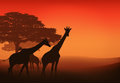 African giraffes walking in savannah at sunset evening landscape Stock Photo