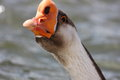 African Goose Stock Image