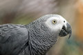 African Gray Parrot. Close Up.